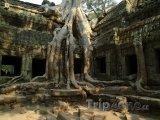 Kořeny stromu na ruinách v chrámu Angkor Vat