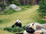 Pandy v zoologické zahradě