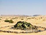 Rostlina Welwitschie podivná