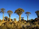 Rostliny Aloe dichotoma