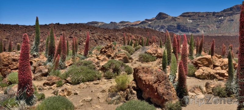 Fotka, Foto Rostliny Echium wildpretii - hadince (Tenerife, Španělsko)