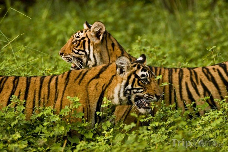 Fotka, Foto Tygři v Národním parku Ranthambor (Indie)