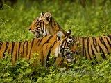 Tygři v Národním parku Ranthambor