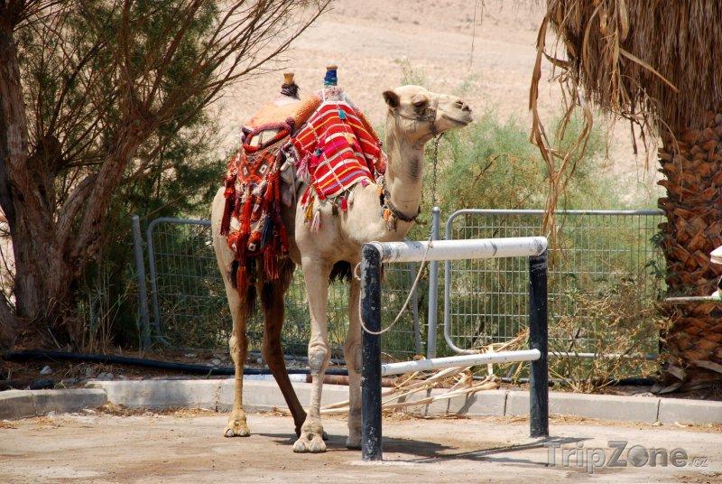 Fotka, Foto Uvázaný velbloud (Saúdská Arábie)