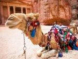 Velbloud ve skalním městě Petra