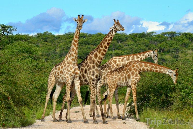 Fotka, Foto Žirafy na cestě (Namibie)