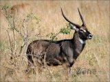 Antilopa červenohnědá, národní zvíře Ugandy