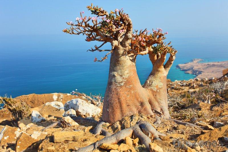 Fotka, Foto Dračí strom na útesu ostrova Socotra (Jemen)