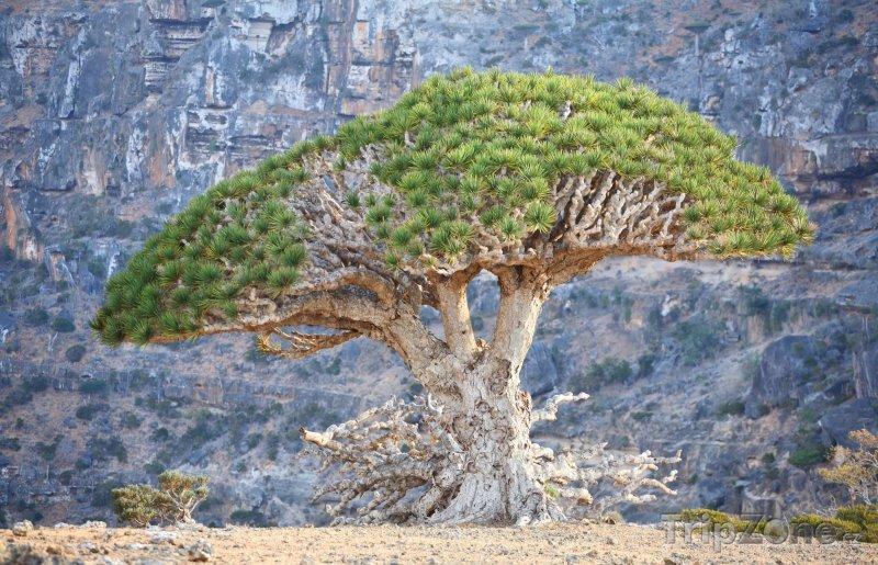 Fotka, Foto Dračí strom u skály (Jemen)
