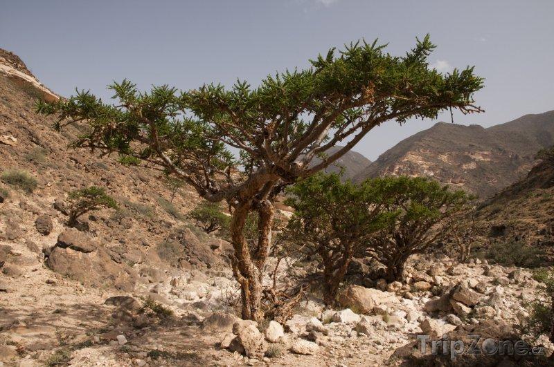 Fotka, Foto Kadidlovník v horách (Omán)