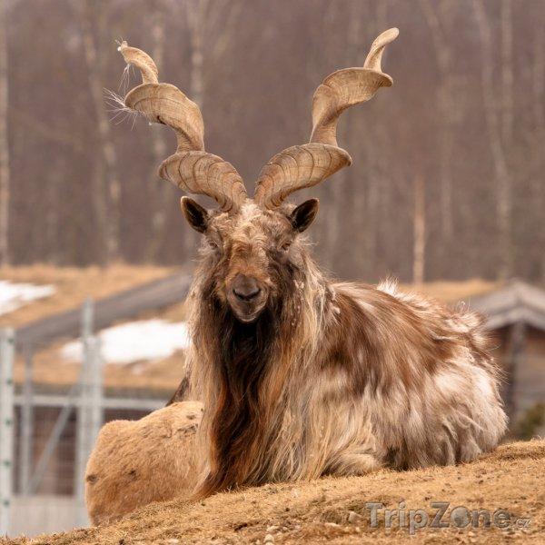 Fotka, Foto Koza šrouborohá, národní zvíře Pákistánu (Pákistán)