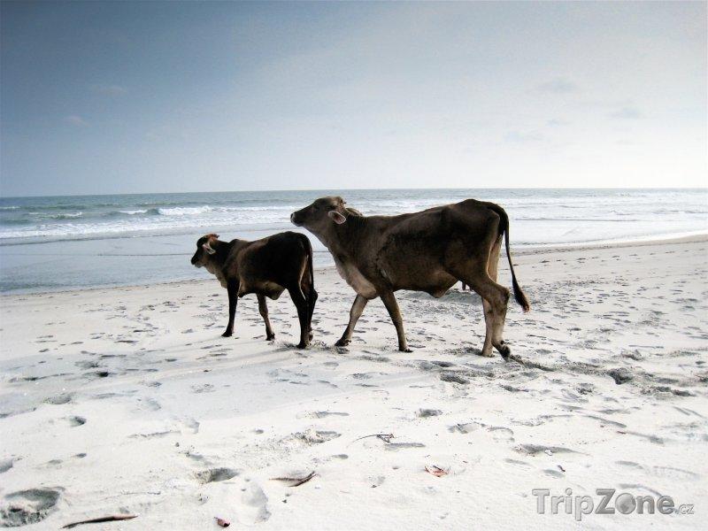 Fotka, Foto Krávy na pláži (Salvador)