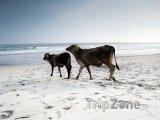 Krávy na pláži