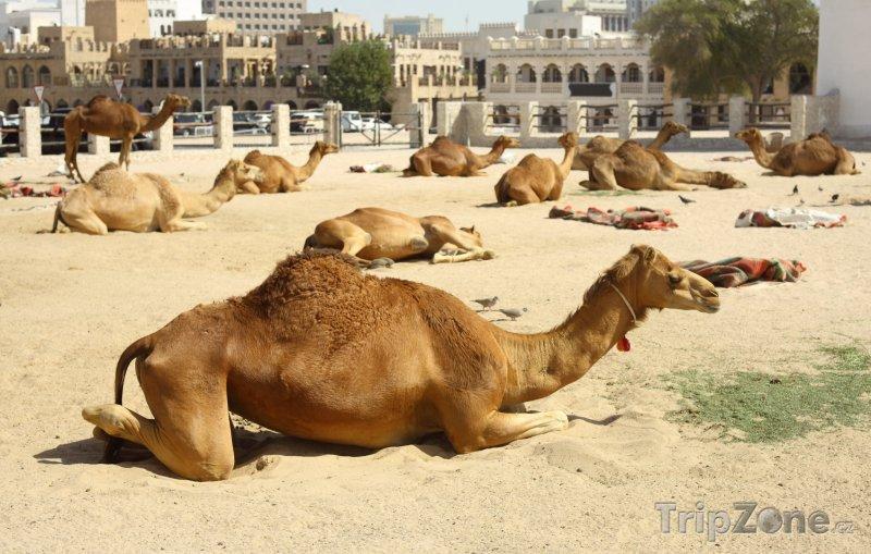 Fotka, Foto Odpočívající velbloudi v Dauhá (Katar)