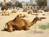 Odpočívající velbloudi v Dauhá