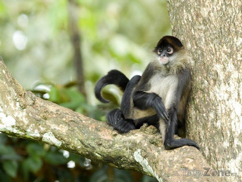 Fotka, Foto Pavoučí opice (Nikaragua)