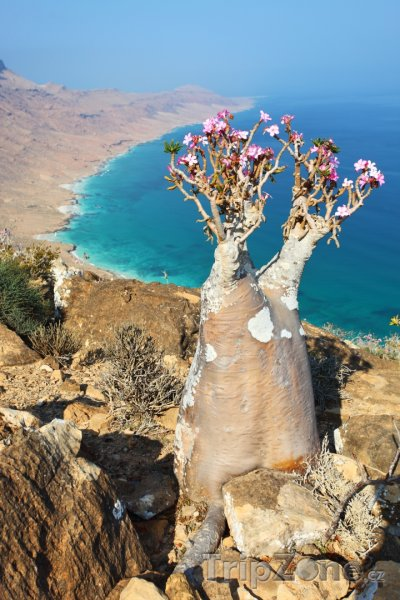Fotka, Foto Rostlina Adenium obesum na ostrově Socotra (Jemen)