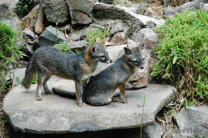 Fotka, Foto Šedé lišky v salvadorské zoo (Salvador)