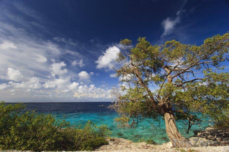Fotka, Foto Strom Mesquite na pobřeží (Bonaire)