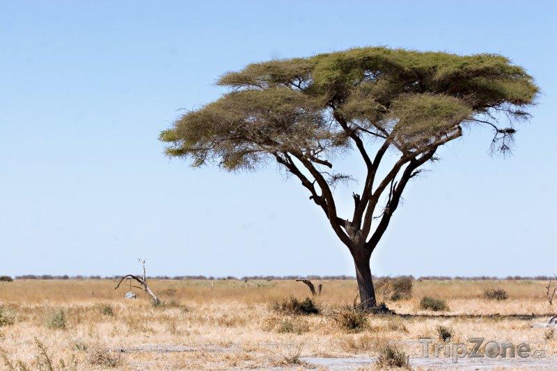 Fotka, Foto Akácie v národním parku Chobe (Botswana)