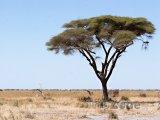 Akácie v národním parku Chobe