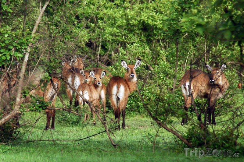Fotka, Foto Antilopy v národním parku Mole (Ghana)