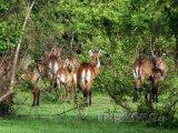 Antilopy v národním parku Mole