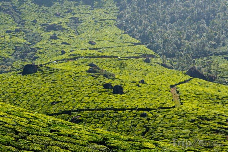 Fotka, Foto Čajové plantáže u města Munnar (Indie)