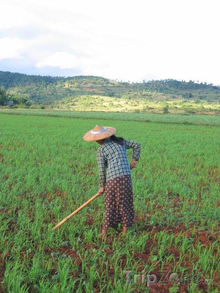 Fotka, Foto Farmářka na rýžovém poli u města Kalaw (Barma)