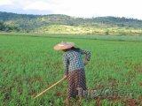 Farmářka na rýžovém poli u města Kalaw