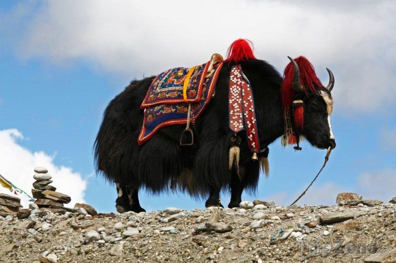 Fotka, Foto Jak divoký (Bhútán)