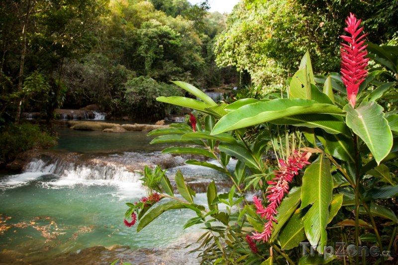 Fotka, Foto Kvetoucí zázvor u řeky Y.S. (Jamajka)