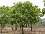 Mangovníky