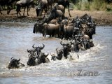 Migrace pakoňů v rezervaci Masai Mara