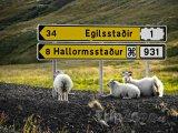 Odpočívající ovce u cedulí