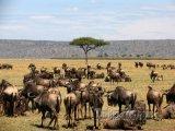 Pakoňové v národním parku Masai Mara