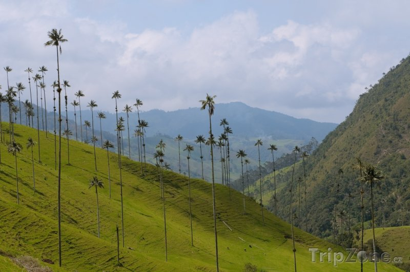 Fotka, Foto Palmy v Cocora valley (Kolumbie)