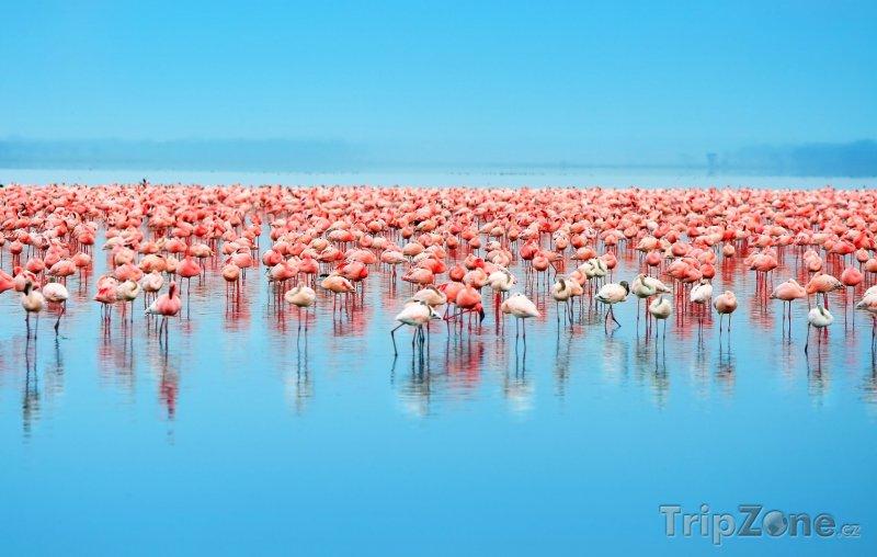 Fotka, Foto Plameňáci na jezeře Nakuru (Keňa)