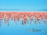 Plameňáci na jezeře Nakuru