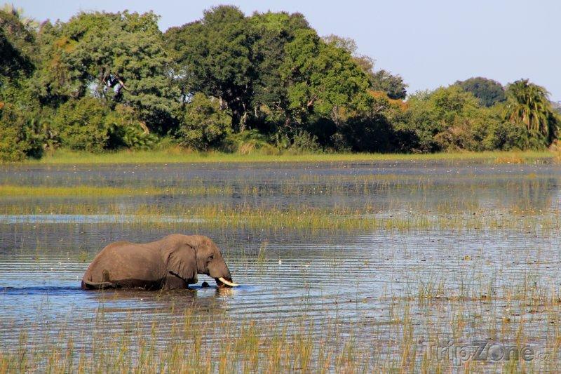 Fotka, Foto Slon v řece Okavango (Botswana)