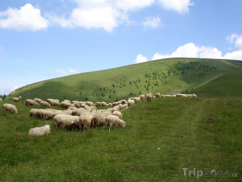 Fotka, Foto Stádo ovcí (Nový Zéland)