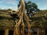Strom rostoucí na chrámu Ta Prohm