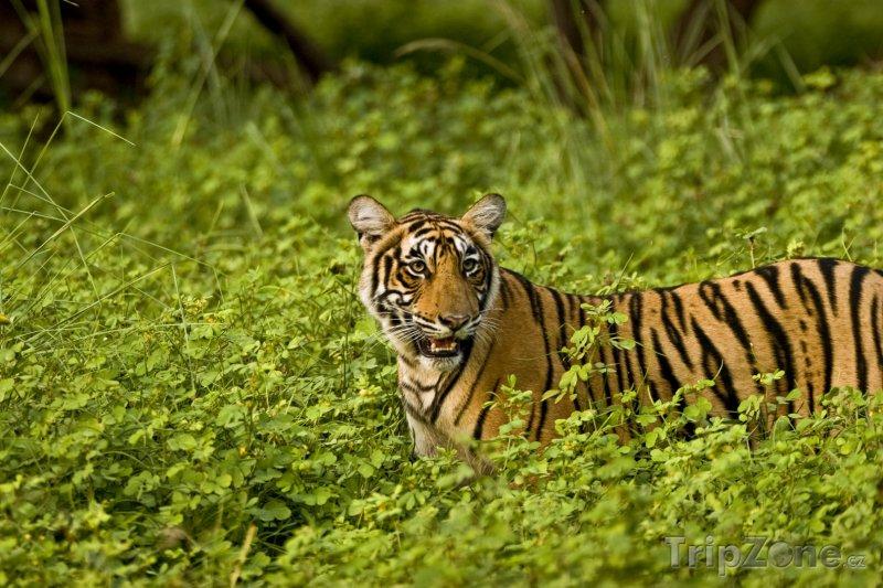Fotka, Foto Tygr v národním parku Ranthambore (Indie)
