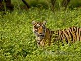 Tygr v národním parku Ranthambore