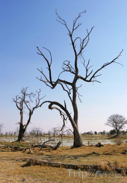Fotka, Foto Uschlé stromy u řeky Okavango (Botswana)