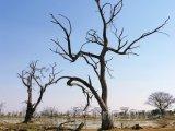 Uschlé stromy u řeky Okavango