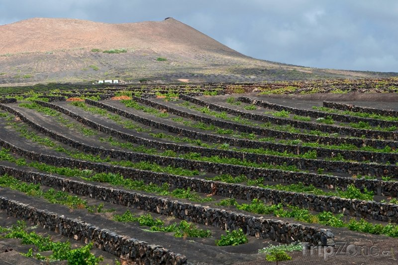 Fotka, Foto Vinice na ostrově Lanzarote (Španělsko)