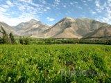 Vinice v údolí Valle del Elqui