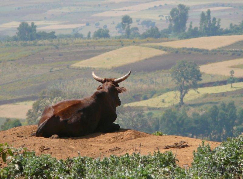Fotka, Foto Vůl odpočívající na kopci (Etiopie)
