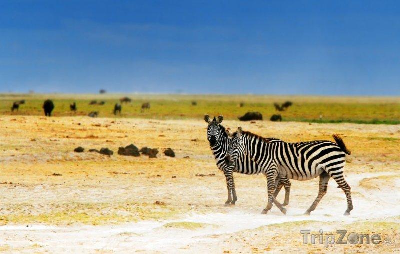Fotka, Foto Zebry v národním parku Amboseli (Keňa)